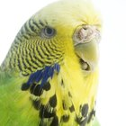 How to Tell If a Budgie Is Male or Female