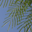 A mature mimosa leaf has many leaflets.