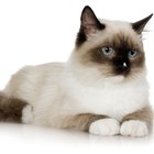 Does Heartworm Cause Rapid Breathing in Cats?