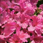 Rhododendrons have brightly colored flowers.