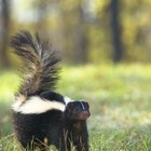 Can You Keep a Dog Away if It Sees a Skunk?