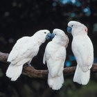 Life Span of Cockatoos