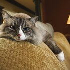 What Are the Causes of Cats Getting Head Congestion?