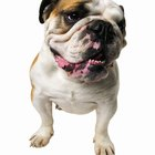 How to Care for Boxers and Bulldogs
