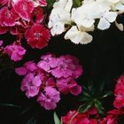 Sweet Williams (Dianthus) make fragrant cottage garden flowers.