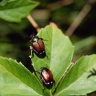 Japanese beetles often congregate on rose bushes.