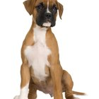How to Train Your Boxer to Speak