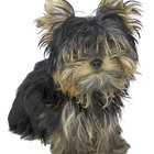 How Fast Does a Yorkie Puppy's Hair Grow After Cutting It?