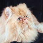 How to Get Rid of Tear Duct Stains in Persian Cats