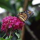 The monarch is a favorite among butterfly enthusiasts.