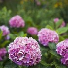 Pink Hydrangeas require a pH of 6.5 or higher.