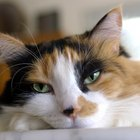 Protrusion of Nictitating Membrane in Cats