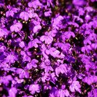 Lobelia's colors are vibrant.