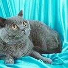 Life Span of Russian Blue Cats