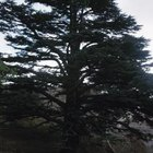 Cedar of Lebanon trees can grow to 100 feet tall and wide but rarely do in cultivation.