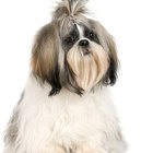 How to Trim a Shih Tzu Dog