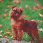 The Difference Between a Rough & a Smooth Coat Brussels Griffon