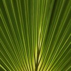 The Fan Palm has leaves in a fan pattern.