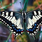 The adult giant swallowtail is the product of the orangedog larva.
