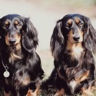 Facts About Miniature Long-Haired Dachshunds