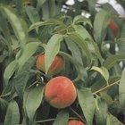 Peaches feature pits in their center.