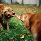 How to Stop Aggressive Playing in Dogs