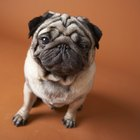 Hypoglycemia in Pugs
