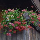 Ivy geraniums (Pelargonium peltatum) have 2- to 3-foot-long stems that hang down.