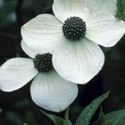 Dogwoods always have four to six bracts.
