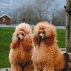 How Much Time Does Caring for Poodles Take?