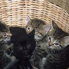 Behavior Problems With Kittens Raised by Humans