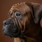 Reasons Why Boxer Puppies May Lose Their Hair