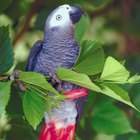 Do Parrots Mimic Sounds to Get Attention?