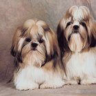 Shih-Tzus & Brown Eye Tear Stains