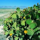 A stand of prickly pear cactus.