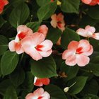 Impatiens and hydrangeas grow in the same climate and soil conditions.