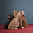 What Is FIP In Cats?