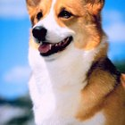 Hair Loss in a Corgi