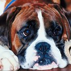 How to Clean the Brown under Your Pet Boxer's Eyes