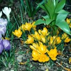 Crocuses brighten a drab winter landscape.