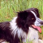 Do Short-Haired Border Collies Grow Hair?
