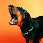 Aggression in a Doberman Pincher