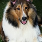 Heart Murmur in Collies