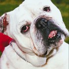 A Bulldog With Dermatitis