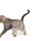 What Does It Mean When a Kitten Arches Its Back & Shakes Its Tail?