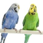 The Budgie's Compatibility With Other Birds
