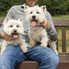 Do West Highland Terriers Shed Much?