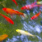 The Living Environment of Rosy Red Goldfish