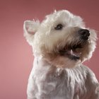 Different Hairstyles for Westie Terriers