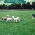 Teaching Dogs How to Do an Out Run in Herding